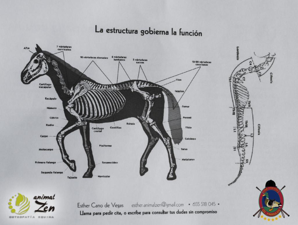 Esther Cano de Vegas_Os Parrulos_Osteopatia equina_animal zen_caballos 5